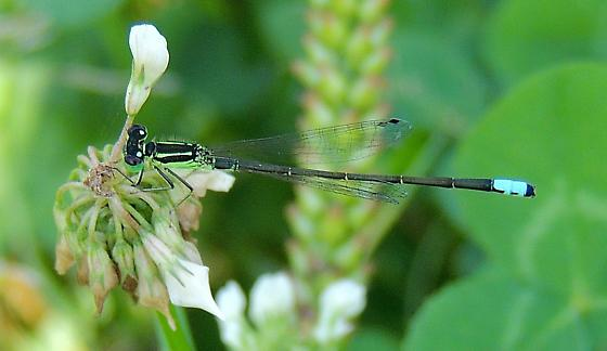 Possible Eastern Forktail? - Ischnura verticalis - male
