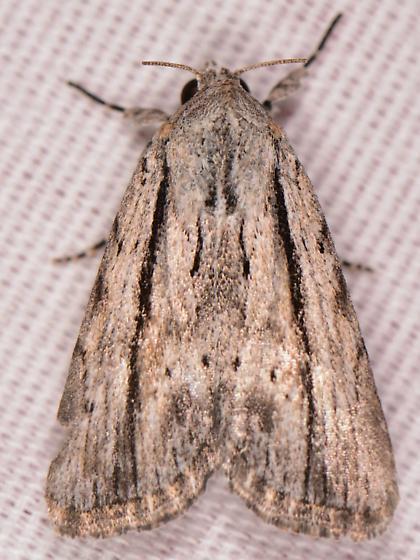Catabenoides terminellus? - Catabenoides