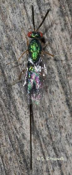 Long Ovipositor - Torymus - female