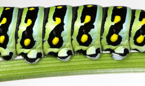 Black Swallowtail--Larva, prolegs - Papilio polyxenes