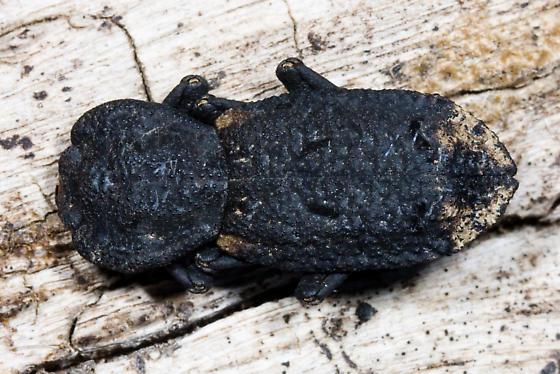 Diabolical Ironclad from Contra Costa County, CA - Phloeodes diabolicus