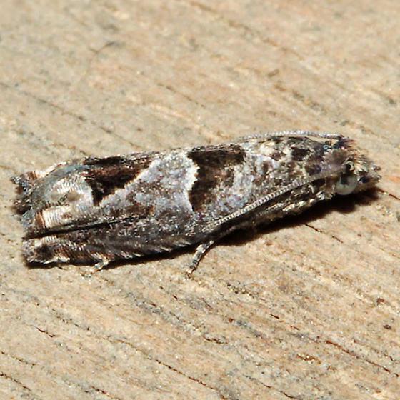 Eucosma consobrinana - Pelochrista consobrinana