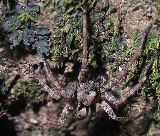 Spider ID Please - Gladicosa pulchra