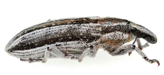 Scaphomorphus? - Scaphomorphus quadrilineatus