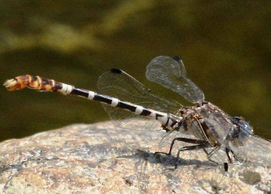 Clubtail Dragonfly? - Erpetogomphus lampropeltis - male