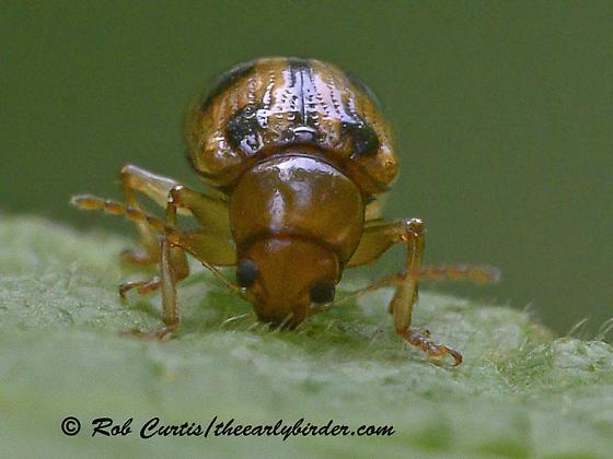 9063425,42 leaf beetle - Paria