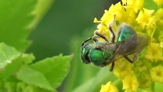 Green Metallic Bee on Golden Alexander - female