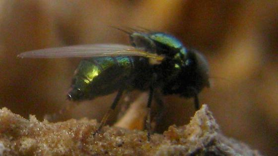 Small metallic-green Fly with black face and pale tarsi on Manroot - Lamprolonchaea smaragdi - female
