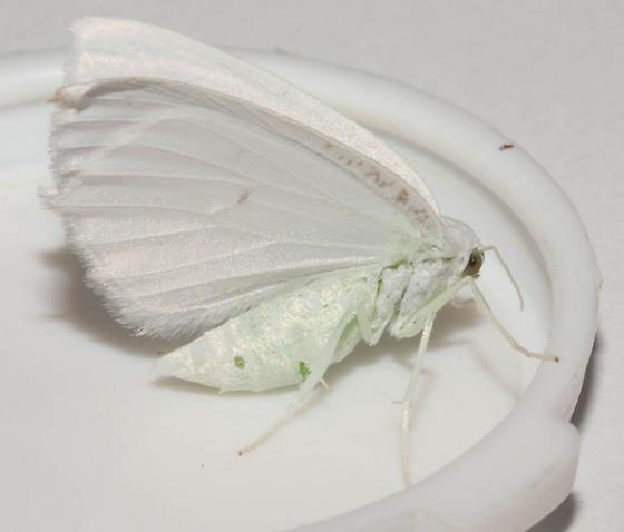 Geometridae, Snowy Geometer - Eugonobapta nivosaria