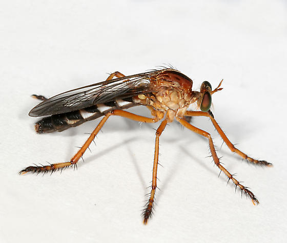 Robber Fly 04 - Diogmi...