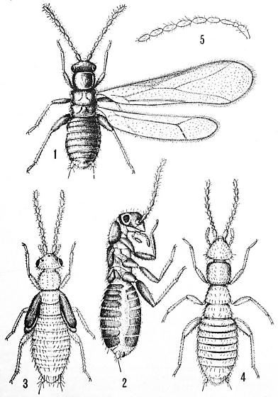 Zorotypus - female