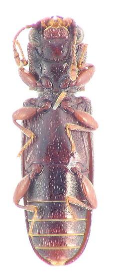 Lyctinae - Powder-post Beetle - Trogoxylon