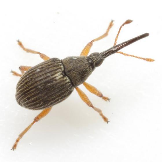 Coelocephalapion buchanani (Kissinger) - Coelocephalapion buchanani