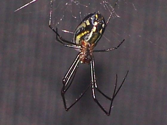 black and yellow spider - Leucauge argyra