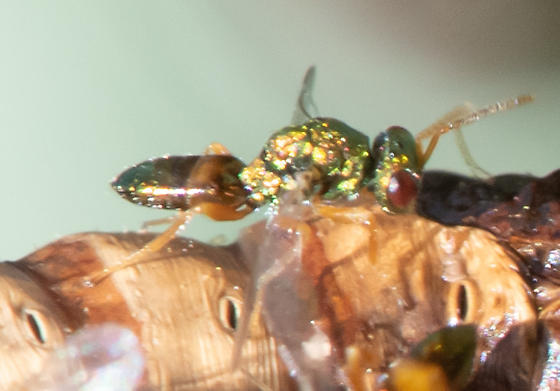 tiny metallic wasps