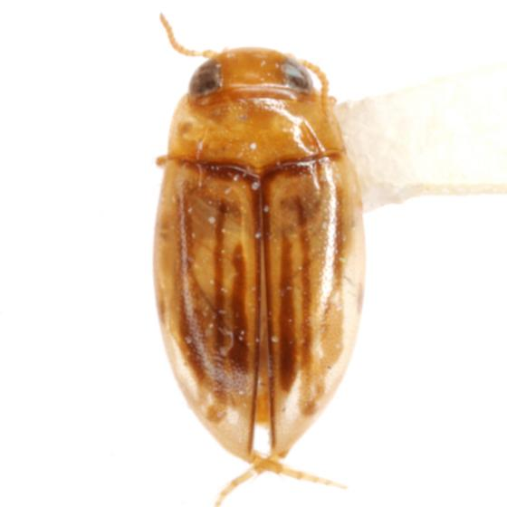 Neobidessus pulloides Young - Neobidessus pulloides