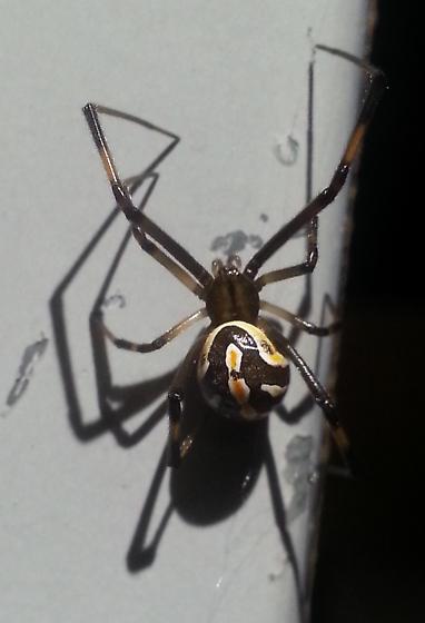 Western Black Widow (young female) - Latrodectus hesperus