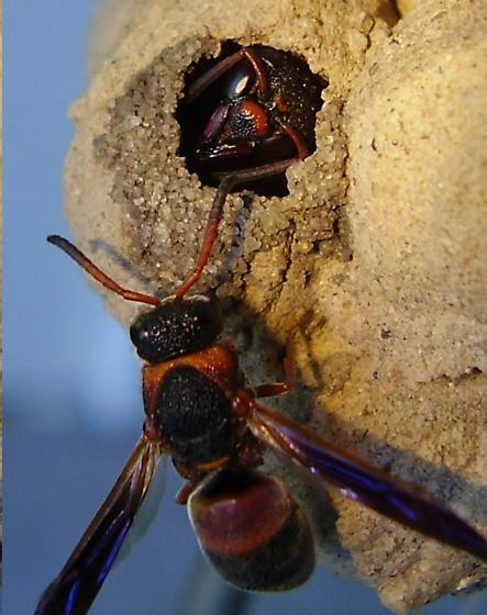mason wasp in a pot - Pachodynerus erynnis - male