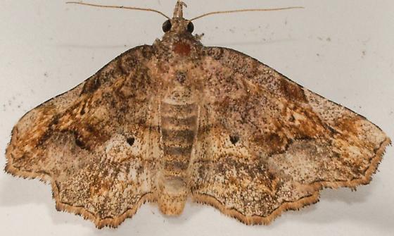 Moth to porch light  - Pangrapta decoralis