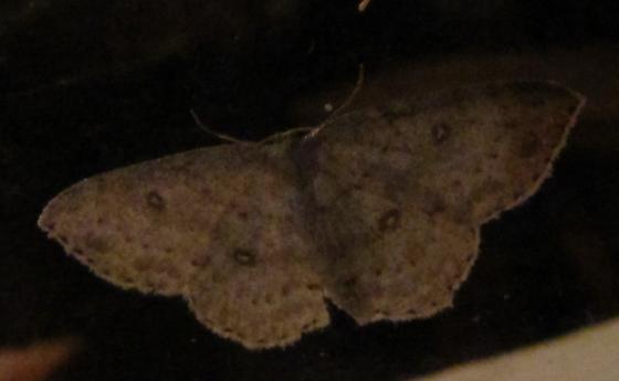 Cyclophora pendulinaria? - Cyclophora pendulinaria
