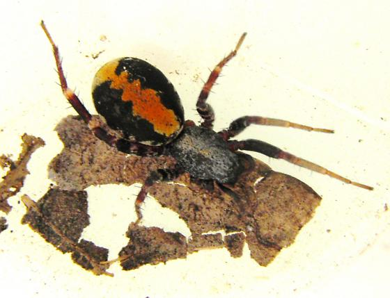spider that mimics velvet ant - Castianeira dorsata