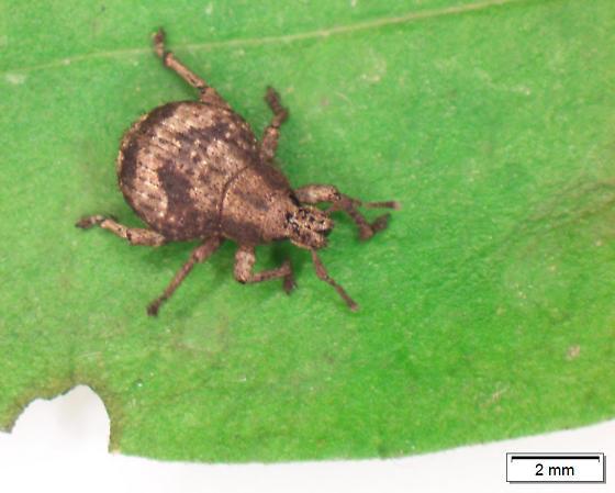 Weevil - Pseudocneorhinus bifasciatus