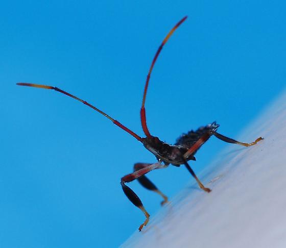 Four-legged bug - Acanthocephala