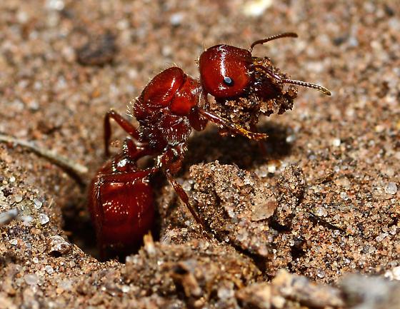 New large queen ant - Pogonomyrmex comanche - female