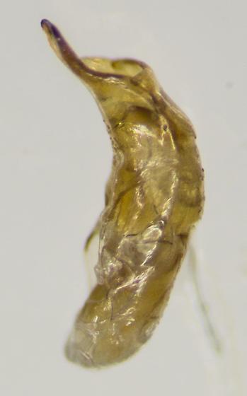 Beetle - Luperaltica nigripalpis