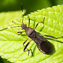 Leaf-footed Bug? - Megalotomus quinquespinosus