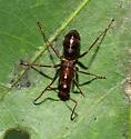 Unidentified dark red ant 2 - Formica pallidefulva