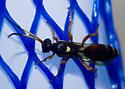 Yellow-spotted wasp - Ichneumon ambulatorius - female