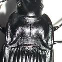 Ground beetle (Dicaelus sp.) - Dicaelus dilatatus