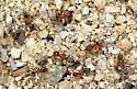 Ants - Liometopum occidentale