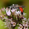 Bee ID - Sphecodes davisii - male