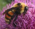 large bumble bee - Bombus rufocinctus