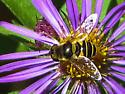 Syrphid Fly - Eristalis transversa
