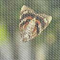 moth on screen - Catocala