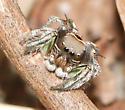 amazing bird mimic jumping spider - Habronattus calcaratus - male