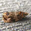 Moth - Olethreutes tilianum