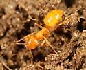 Yellow ant - Lasius claviger - female