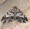 Moth - Macaria deceptrix - female