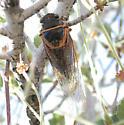 Okanagana venusta - female