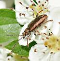Longhorn or leaf beetle? - Plateumaris