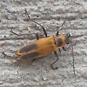 Miscellaneous 5 - Chauliognathus pensylvanicus