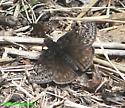 Which Duskywing? - Erynnis juvenalis