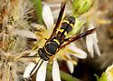 Is this Leucospis affinis ? - Leucospis affinis - female