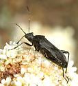 Alydidae  - Alydus eurinus