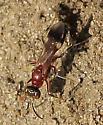 Wasp? - Alysson melleus