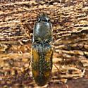 Small Click Beetle - Idolus bigeminatus